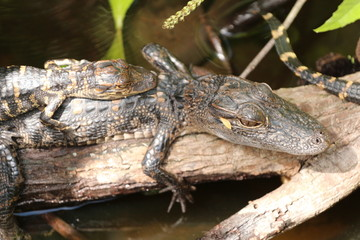 Young Baby Alligators Basking / Laying on one another
