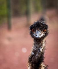 Poster Struisvogel emu curioso alerta