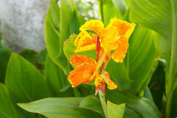 Orange yellow kana flowers or canna lily