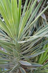 Yucca filamentosa bright edge green plant
