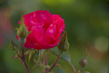 FLOWERS - rose on a green background