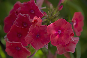 FLOWERS - red phloxes