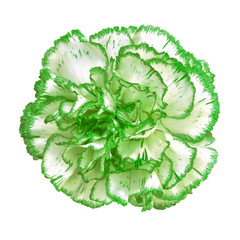 green white carnation flower isolated on white background. Close-up.  Element of design.