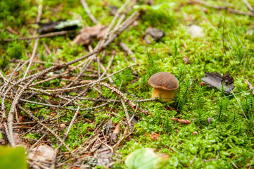 Close-up of small Boletus edulis in the shiny green moss surounded by branches and leafs. Detail of mushrooms in forest. Penny bun, cep, porcino or porcini. Edible mushroom in the Czech forest.