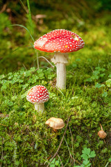 Close-up of big and small amanita muscaria, commonly known as the fly agaric or fly amanita in the shiny green moss surounded by other mushrooms and three-leaf clover. Detail of mushrooms in forest.