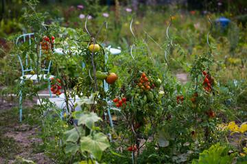Tomatenstauden, Tomaten ernten, Hobbygärnter