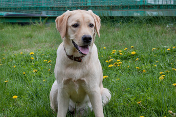 Cute labrador retriever is sitting on a green meadow. Pet animals.