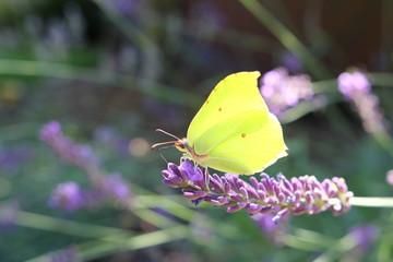 Żółty motyl na lawendowej gałązce
