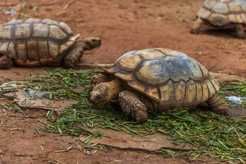 african spurred tortoise (Geochelone sulcata) resting in garden