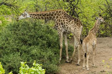 Girafe, Giraffa camelopardalis, jeune et femelle, Parc national Kruger, Afrique du Sud