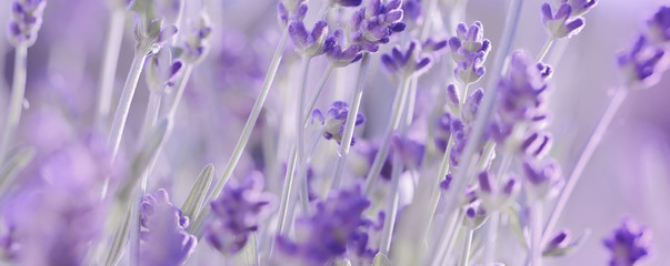 Violet Lavender flowers background