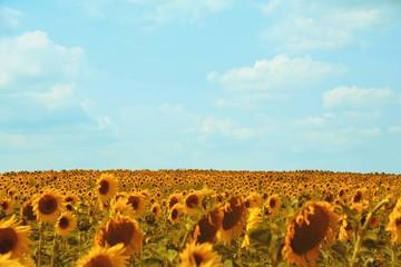 Wall Mural - Grußkarte - Sonnenblumen Feld