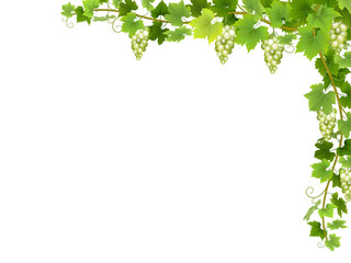 Hanging bunches of ripe white grapes with branches and leaves.