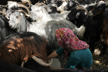 Woman milking goat on farm