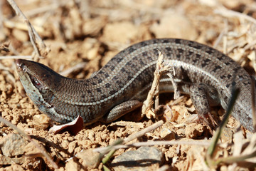 Pregnant wall lizard in the nature