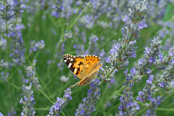Butterflies of Provence , France