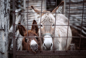 Two donkeys standing behind iron fence