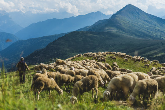 Sheep herd on a green pasture in Dolomiti mountains. Sunset light, shepherd with his sheep on pasture with high mountains in background.