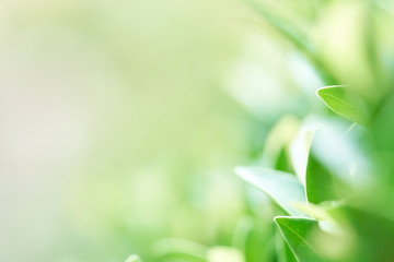 The background image is blurry green leaves feeling refreshed. And have a good environment. Make a background with copy space using as natural green plants , ecology concept