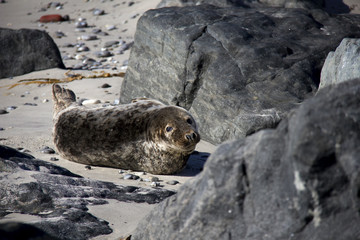 Portrai of Harbor Seal on the beach. Düne, Helgoland, Germany.