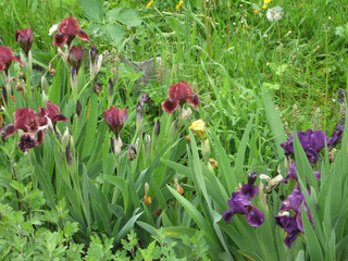 Colorful irises in the garden, perennial garden. Gardening. Bearded iris Group of purple irises in the Ukrainian Garden.