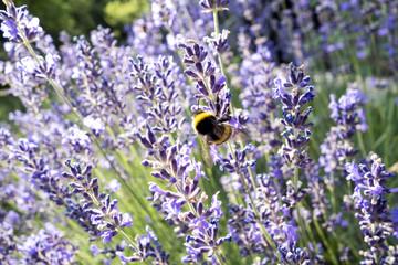 Bumblebee at lavender blossom Fotoväggar