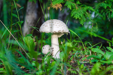 White mushrooms in a forest under a tree