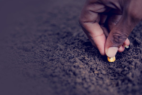 indian farmer sowing corn seeds