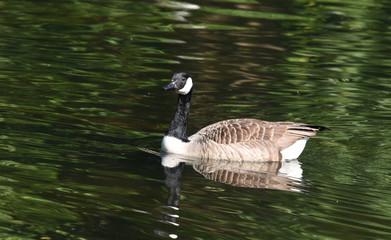 Single Canada Goose
