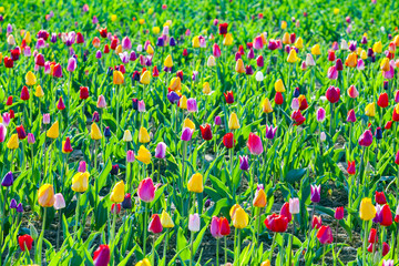 Spring field with blooming colorful tulips
