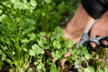 Harvesting the herb cilantro by hand.