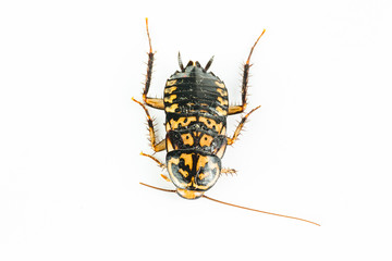 a black yellow cockroach on white background