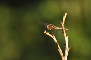 Beautiful dragonfly sitting on a dry plant close-up