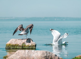 Two big birds gary and white seagulls. The birds spreading wings. Gray gull drove white seagull out of the stone. Sunny summer day. Ukraine, Kakhovka Reservoir Beautiful Natural Background
