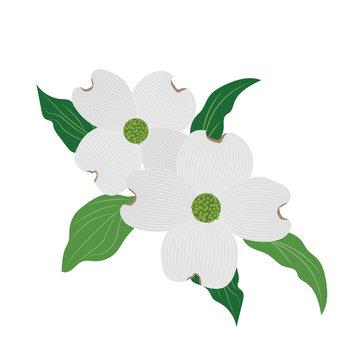 Nature flower white dogwood Cornus florida