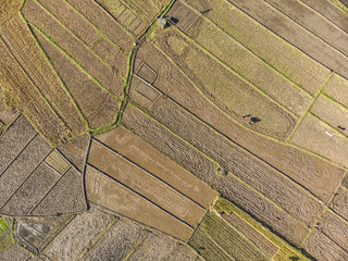 Beautiful rice field harvest season aerial view with line pattern in Yogyakarta, Java Island, Indonesia