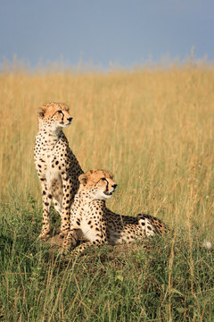 Two Wild Cheetah Cubs Looking to the Side in the Masai Mara, Kenya, Africa