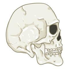 Vector Single Cartoon Illustration - White Human Skull
