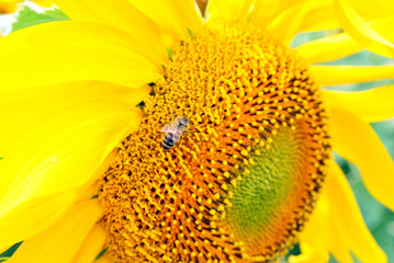 Sunflower blooming, close up texture macro detail with honey bee on it, organic background