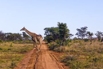 cute giraffe crossing a dirt road in a game reserve in south africa