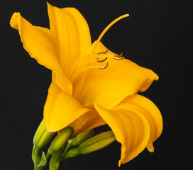 Fine art still life color macro portrait photo of a single isolated wide open orange yellow daylily blossom with stem and buds on black background with detailed texture