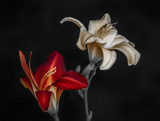 Fine art still life color macro portrait of a pair of isolated wide open purple and white daylily blossoms,black background,detailed texture, vintage painting ,symbolic pair couple joint together