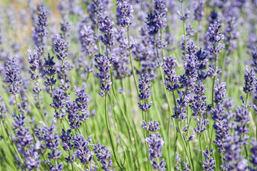 Lavender blooming in the heat of summer.