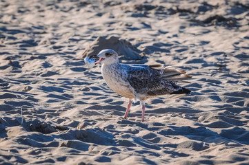 Seagull trying to eat silver foil on the beach in Swinoujscie town over Baltic Sea in Poland