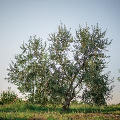Olive tree in the olive garden in Mediterranean
