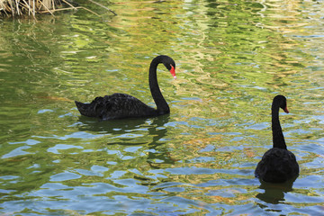 Graceful birds in a pond