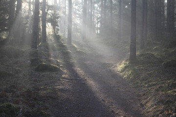 Light, sun, trees, forest, early morning, sunny