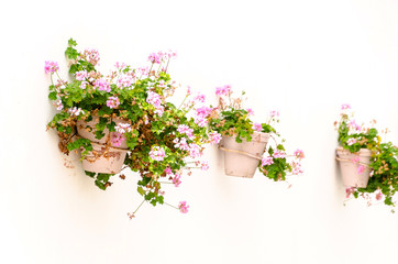 Pot of pink geraniums