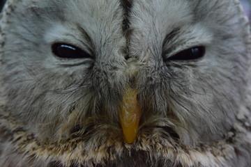 Face of Ezo Owl