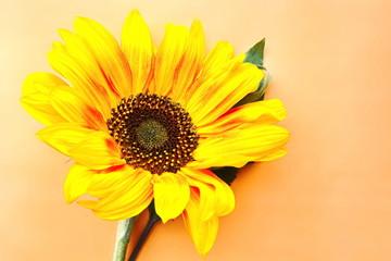 yellow garden decorative sunflower with dark core on orange background